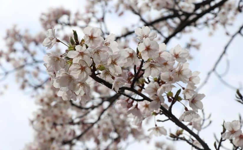 新型コロナウイルスと桜
