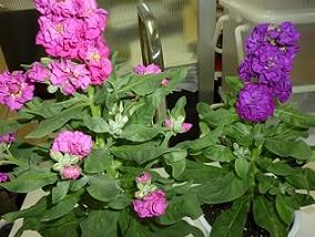 高大連携校の生徒さんが育てた花を買いました
